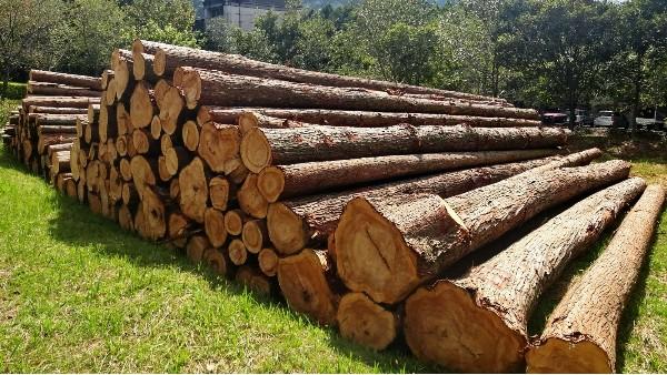 新西兰原木砍伐停滞两周,原木价格却为何不升反降?